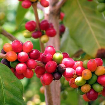 Agaete coffee - Gran Canaria